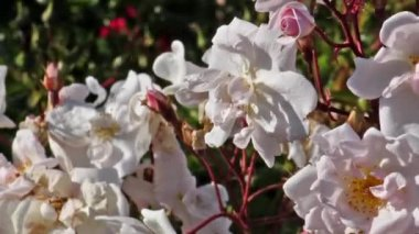 Bush of white roses mooving on a wind, White rose petals slipping away — Stock Video