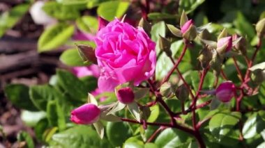 Red Rose Flowers and Buds. Flowers in the Garden on a wind — Stock Video