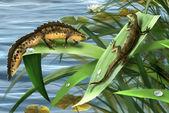 Newts family, newts love. amphibian salamander — Stock Photo