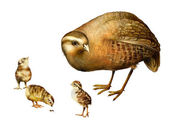 Grey Partridge, Perdix perdix, little chicks, Isolated on white — Stock Photo