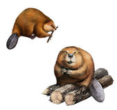 Adult Beaver sitting at logs. Isolated Illustration on white background. — Stockfoto