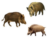 Adult boar. Isolated realistic illustration on white background — Stock Photo
