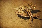 Dead crab lies at the fine sandy beach — Stock Photo