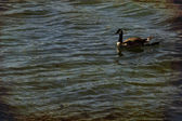 Ducks on the water. Lake in the city. — Stock Photo
