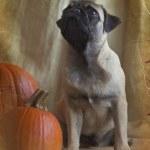 Pug and a pumpkin — Stock Photo #37347687