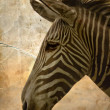 Close-up portrait of a baby zebra — Stock Photo