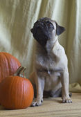 Pug and a pumpkin — Stock Photo