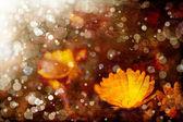 Orange flowers of calendula — Stock Photo