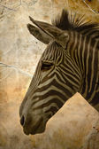 Close-up portrait of a baby zebra — Stock Photo