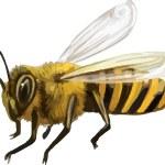 Vector Bee — Stock Vector #37554763