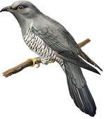 Common Cuckoo — Stock Vector