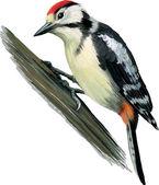 Woodpecker — Stock Vector
