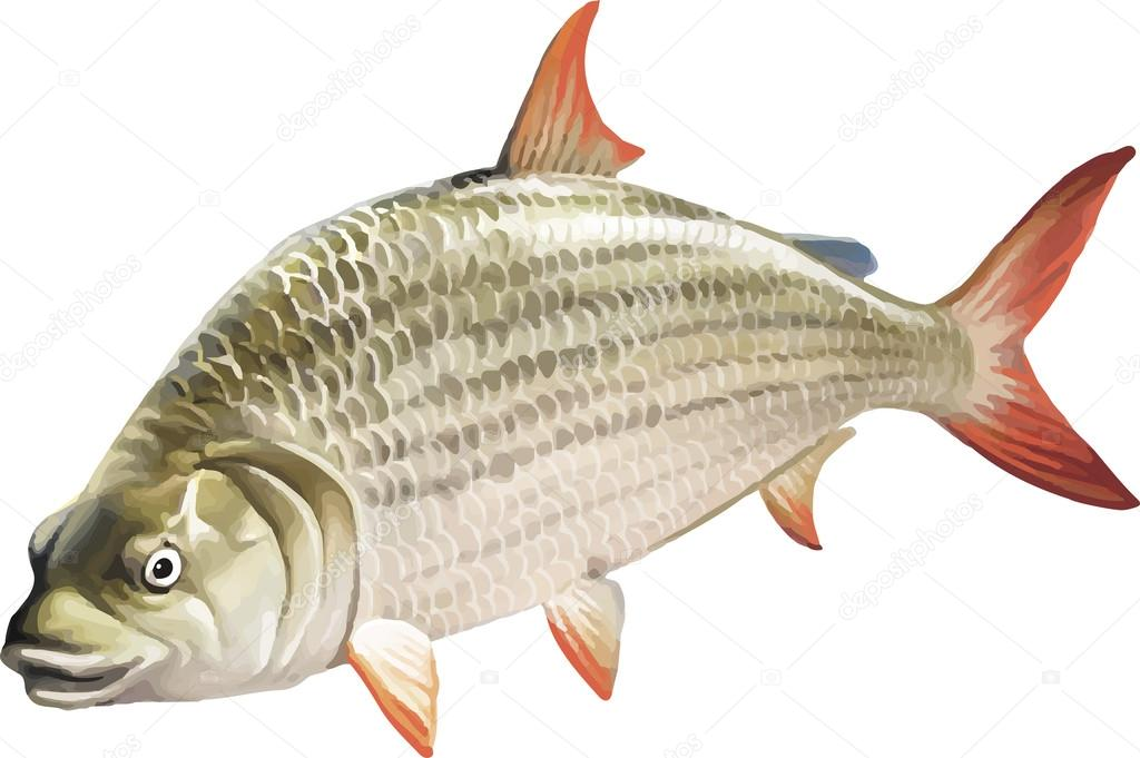 Ruff comuni pesci d 39 acqua dolce di rudd vettoriali stock yuliaavgust 37555145 - Pesci comuni in tavola ...