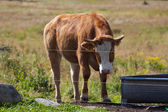 Young cow — Stock Photo