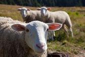 Sheeps — Fotografia Stock