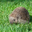 Foto Stock: Hedgehog