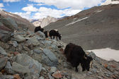 Himalayan Yaks — Stock Photo