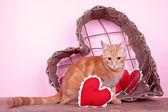 Valentine Cat — Stock Photo