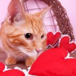 Valentine Cat — Stock Photo
