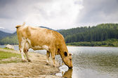 Light brown cow drinking from lake — Foto de Stock