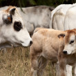 White calf — Stock Photo #12705507