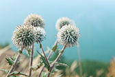 Echinop flowers close up — ストック写真