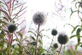Thistle flowers close up — 图库照片