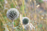 Thistle flowers close up — Stock Photo