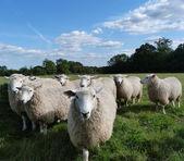Romney Sheep — Stock Photo