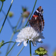 Stock Photo: Red Admiral Butterfly on White scabious