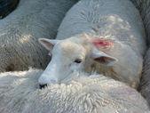 A Romney Ewe — Stock Photo