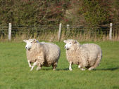 Two Sheep Running — Stock Photo