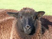 Face of Young Black Sheep — Stock Photo