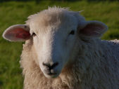 Face of a Young Romney Ewe — Stock Photo