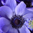 Posy of Anemones and Muscari — Stock Photo