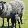 Stock Photo: Gotland Ewe with Lamb