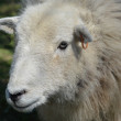 Stock Photo: Herdwick Ewe