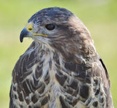 Head and Shoulders of a Buzzard — Stock fotografie