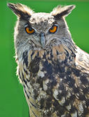 Indian Eagle Owl — Stock Photo