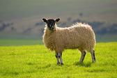 A Sheep on the Southdowns — Stock Photo