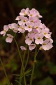 Cuckooflower, also  known as 'Lady's-smock'( Cardamine pratensis — Стоковое фото