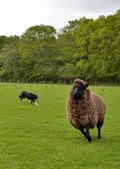 Border Collie Working Sheep — Stock Photo