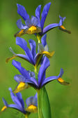 Iris against out of focus background — Stock Photo