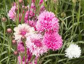 Pembe ve beyaz peygamber çiçeği — Stok fotoğraf