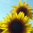 Sunflower field — Stock Photo #13123644