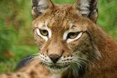 山猫 — 图库照片