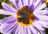 Brown Argus — Foto Stock