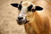 Cameroon dwarf blackbelly sheep — Stock Photo