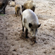 Foto Stock: Wild boars herd
