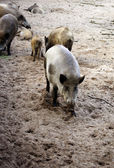 Wild boars herd — Stock Photo